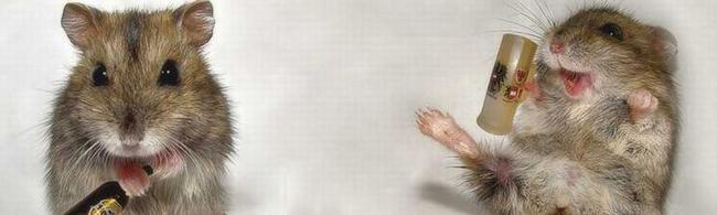 Une attaque de rats dans un festival anglais